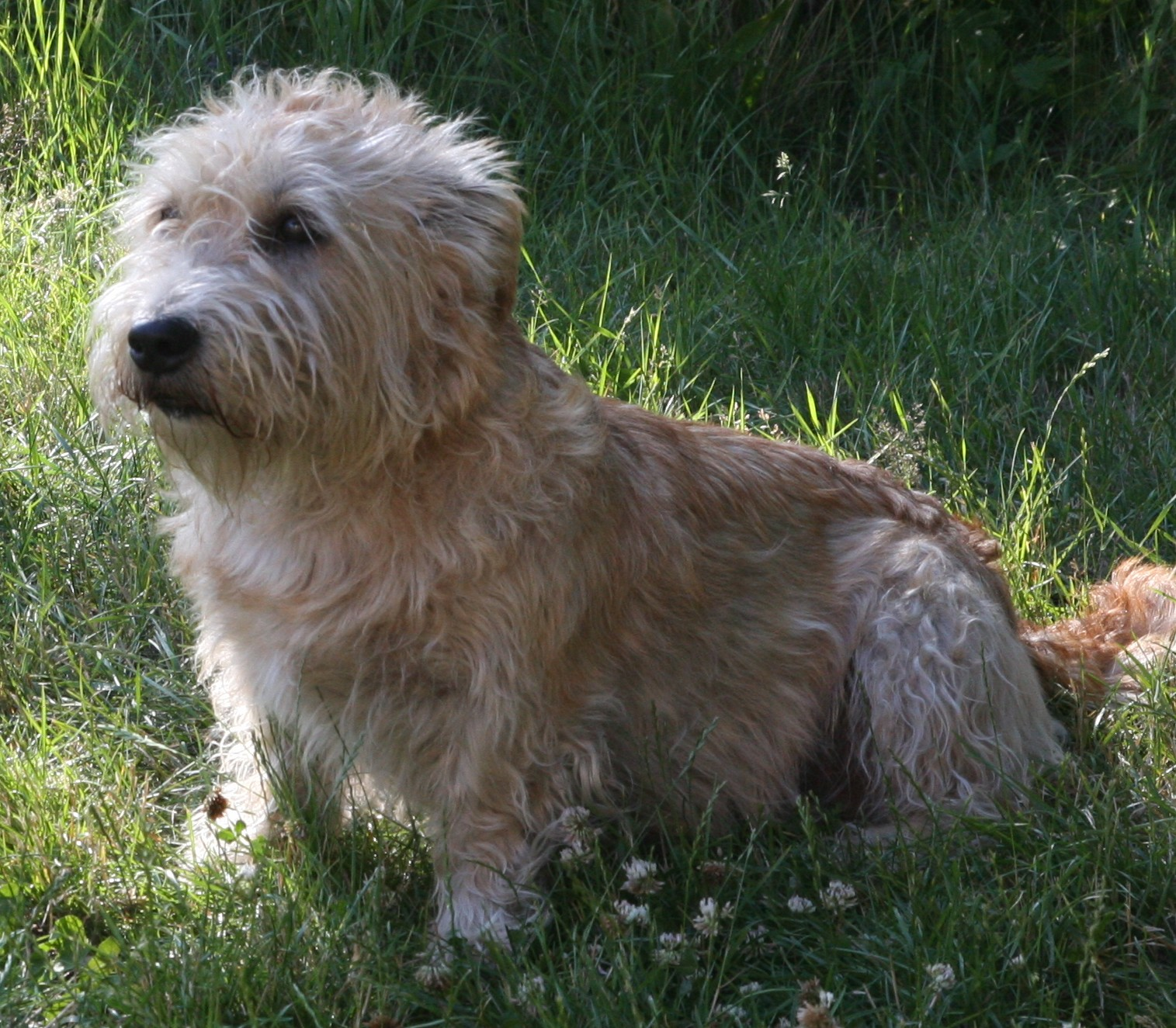 Glen of Imaal Terrier Tara
