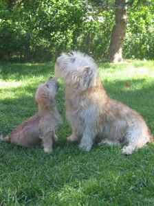 Glen of Imaal Terrier mon and son