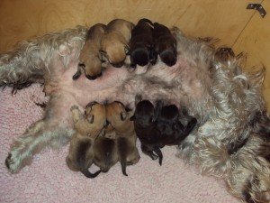 Glen of Imaal Terrier Rosa's first litter