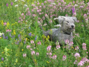 Glen of Imaal Terrier Rosa in the flower field