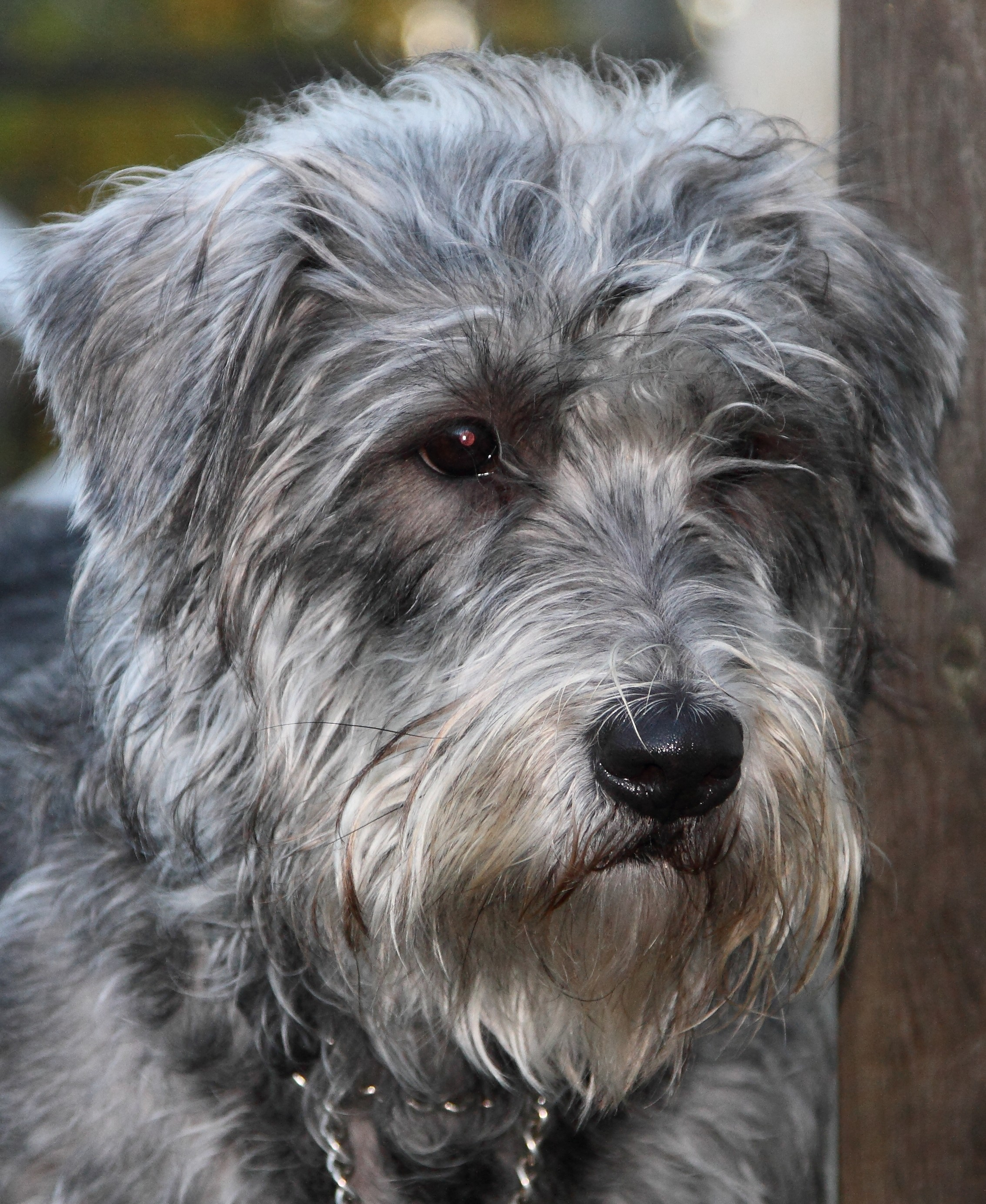 Glen of Imaal Terrier Rosa, Taramont Niamh Tirnan'Og